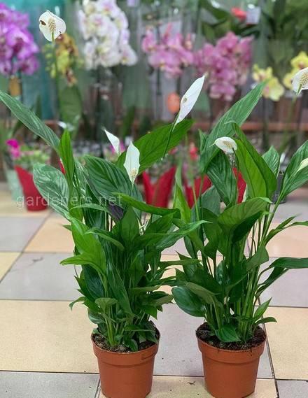 Какие комнатные растения могут расти при малом освещении?