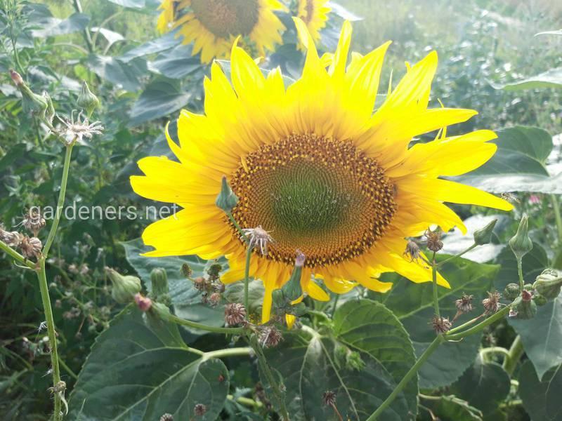 Зберігання соняшника