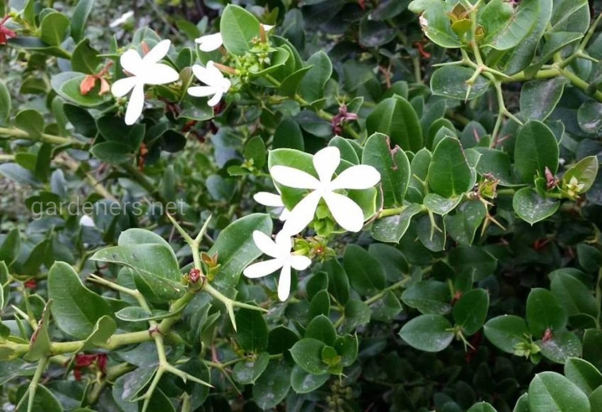 цветение кариссы