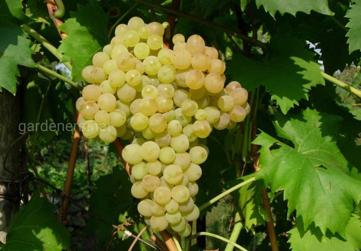 Виноград Кыш-мыш