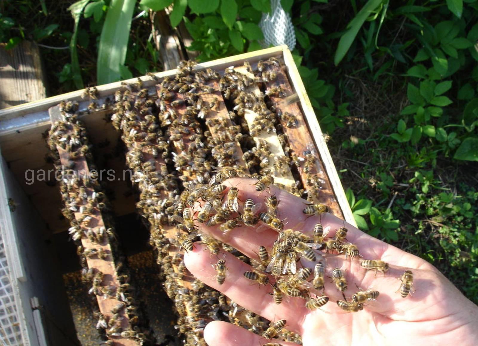 семья пчел.jpg