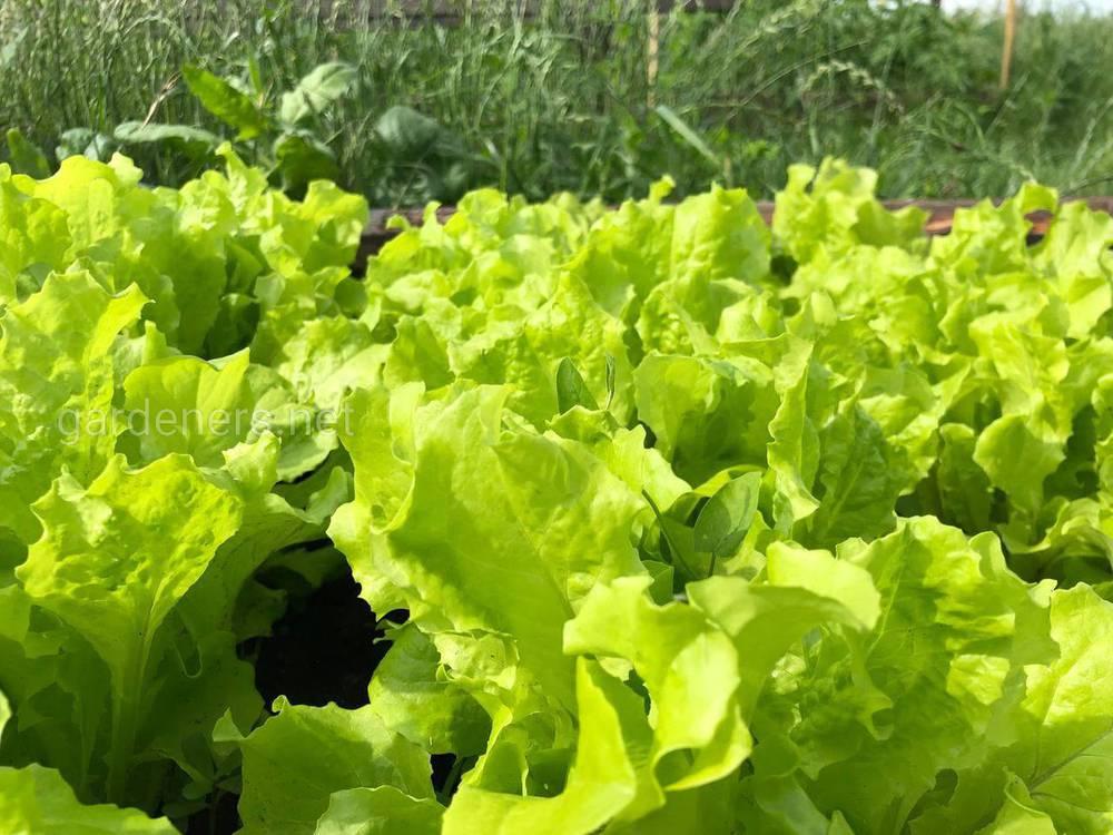 Садим салат