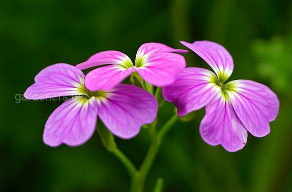 Малькольмія: правильний догляд, використання в саду, види
