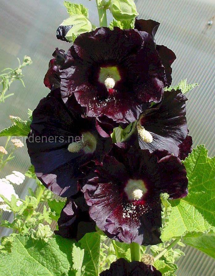 Шток-роза черная