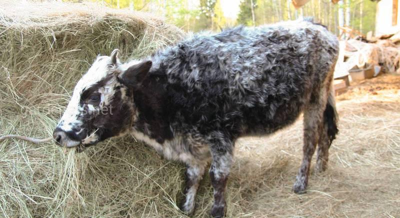 Якутские мини-коровы