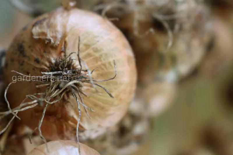 Практичні поради по зберіганню цибулі та часнику