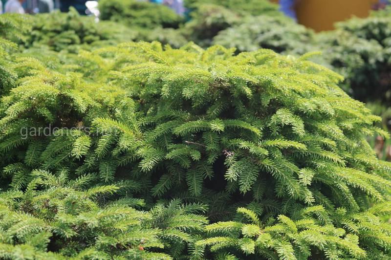 Лечение и придание правильной формы елкам путем обрезки