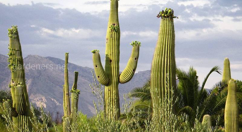 Самые большие кактусы.jpg