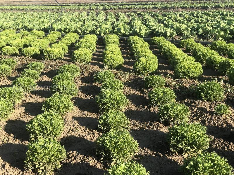 Как правильно собирать урожай полевого салата?