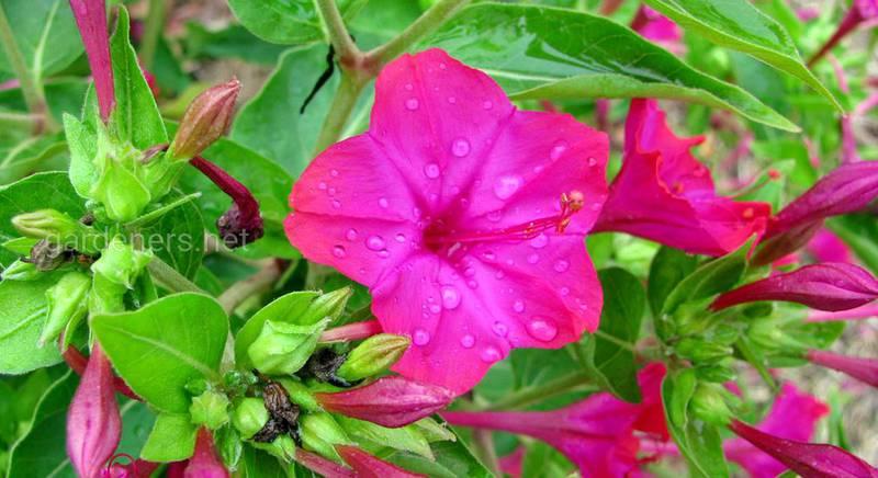 Мірабіліс: посадка і догляд за невибагливою, рясно квітучою рослиною