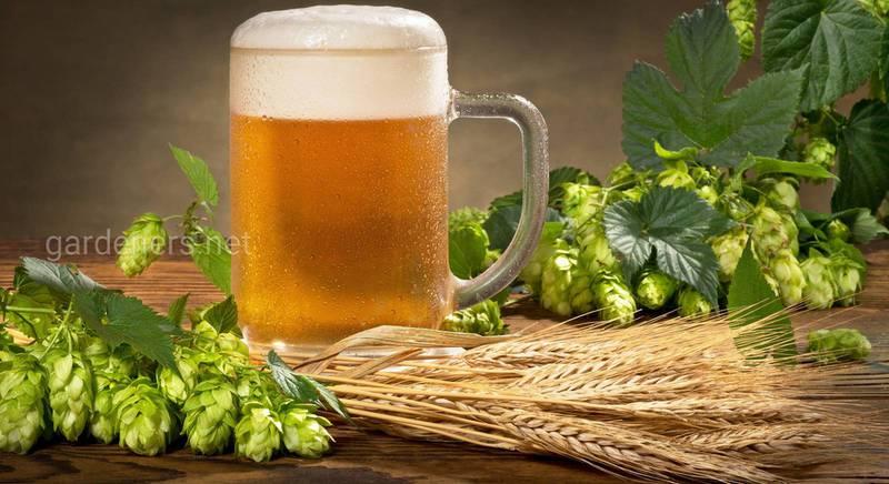 Как приготовить пиво дома 1