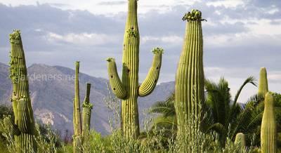 ТОП-3 самых огромных кактуса на планете