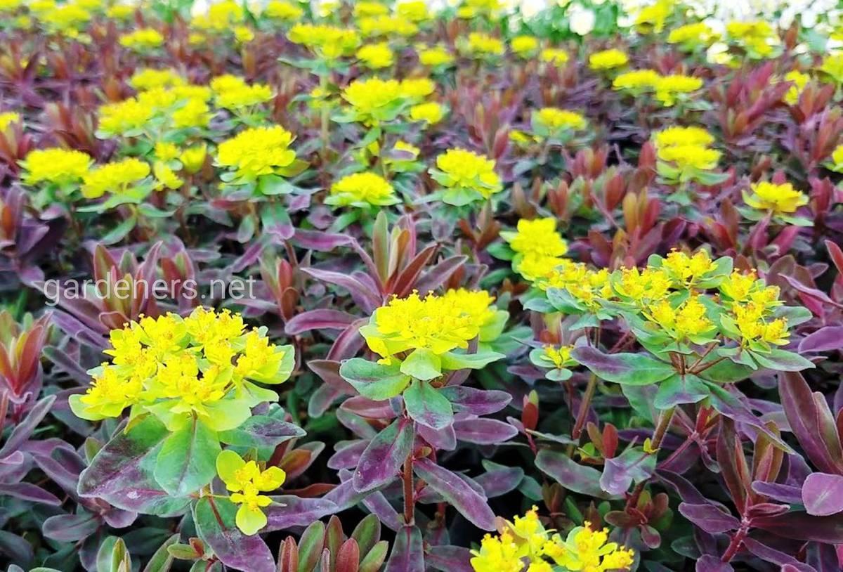 Молочай многоцветковый Бонфаер