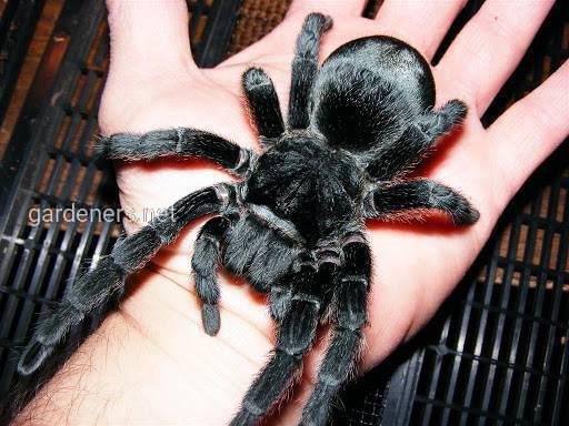 Павук як домашній улюбленець: популярні різновиди з фото, умови утримання