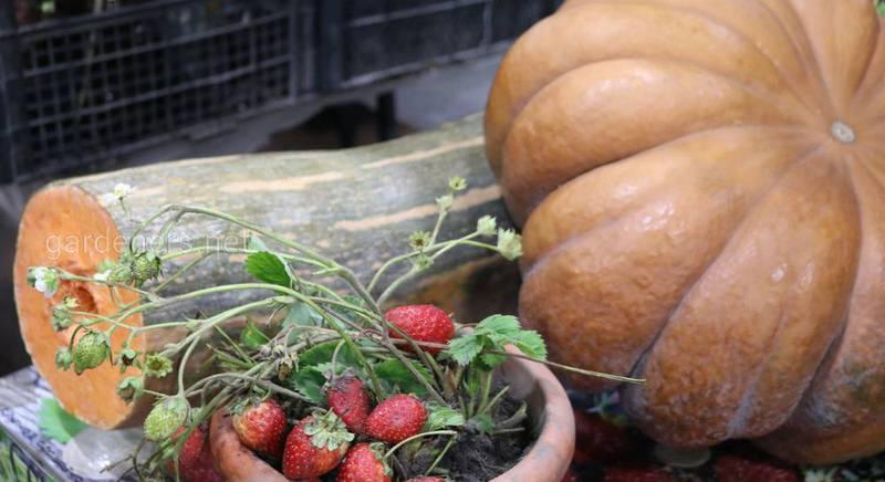 Семена сортов тыквы Лунга Пиена ди Наполи и Прованс.JPG