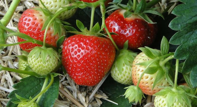 ТОП-5 способов избавится от гнили ягод клубники