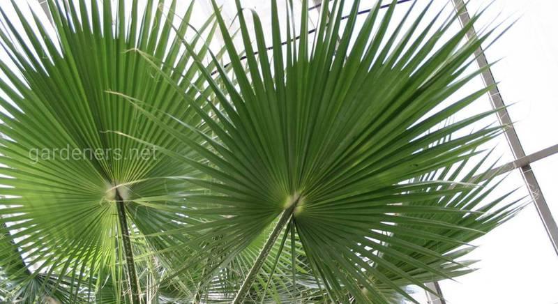 Найефектніші різновиди вашингтонії – найгарнішої віялоподібної пальми в світі