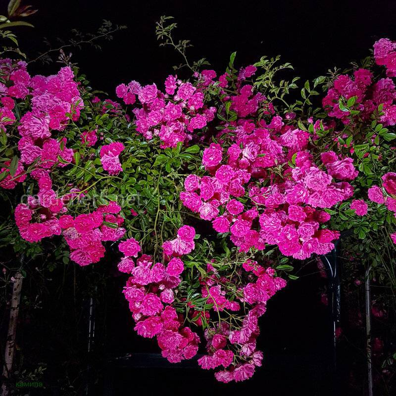 Как бороться с вредителями и заболеваниями плетистых роз?
