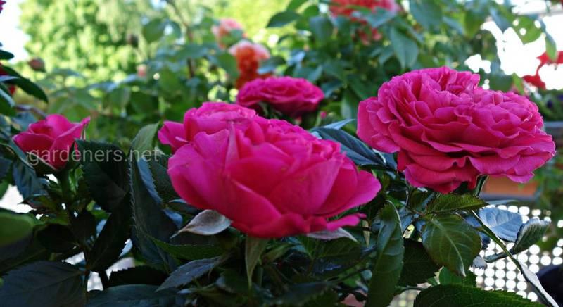 Сказочный розовый сад: четыре совета для создания королевства роз на балконе