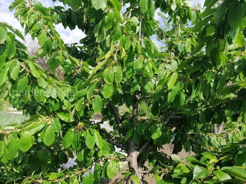 Как выбрать кустарник или дерево для живой изгороди?
