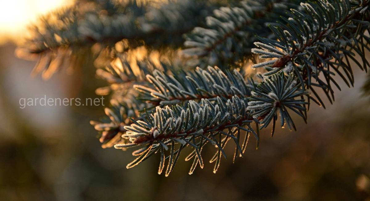 fir-tree-3952362_1920