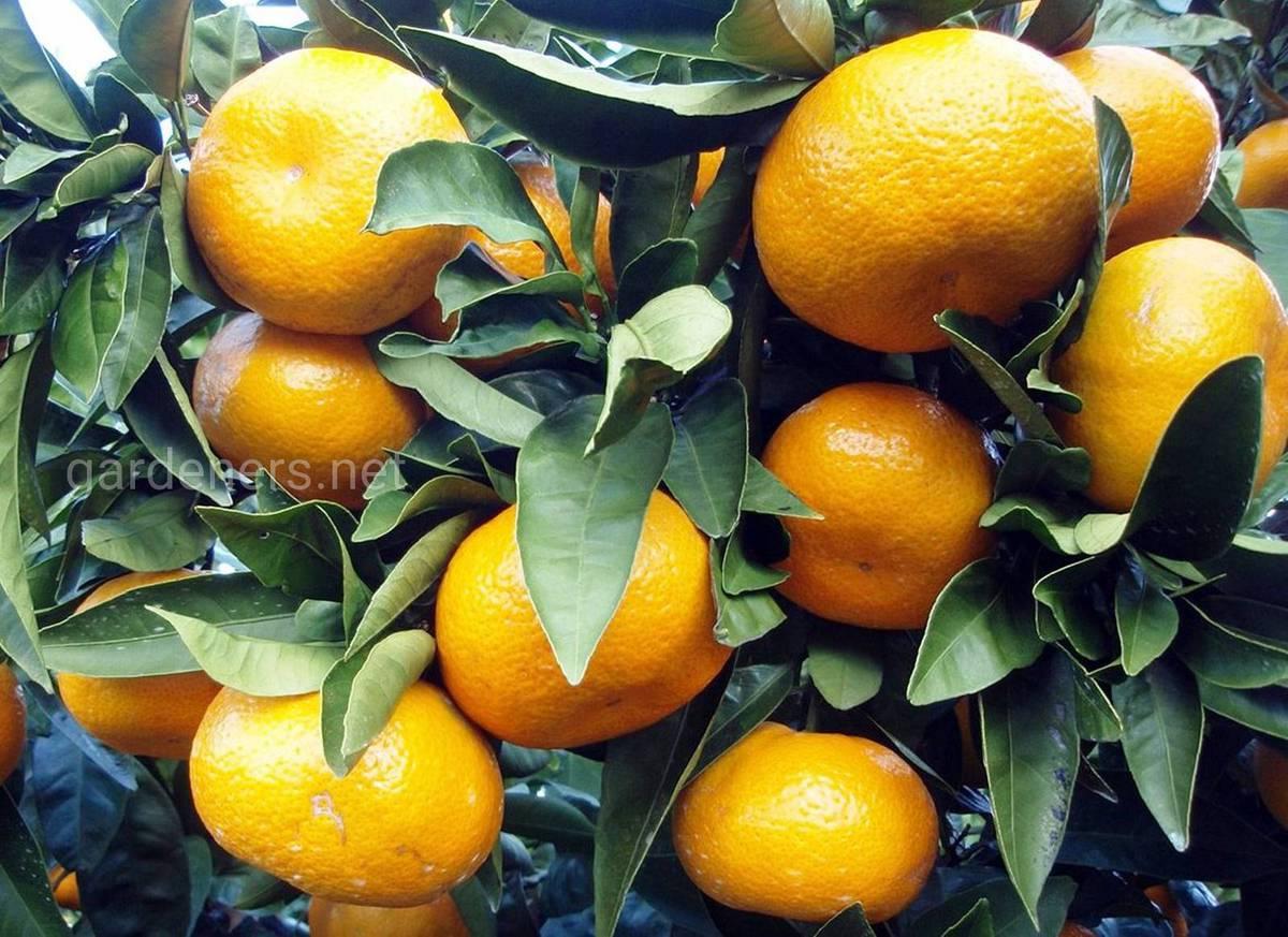 урожай мандарин