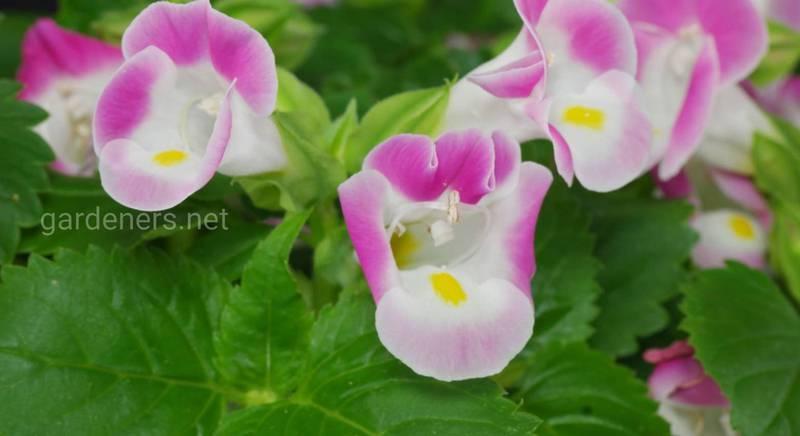 Найкрасивіші сорти торенії, види квітки