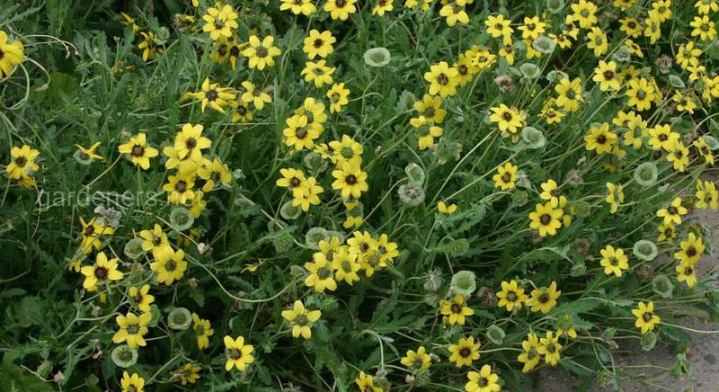 Берландіера або шоколадна квітка: секрети вибору правильного ґрунту химерної ромашки