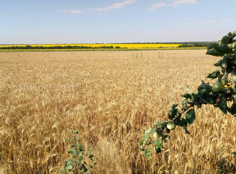 Какие гербициды используют для борьбы с широколиственными сорняками злаковых?