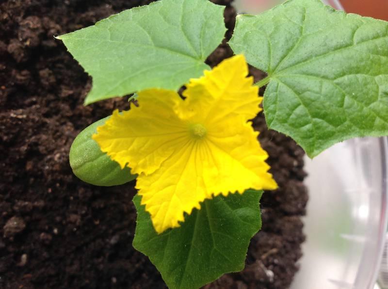 Як попередити появу огіркової борошнистої роси?