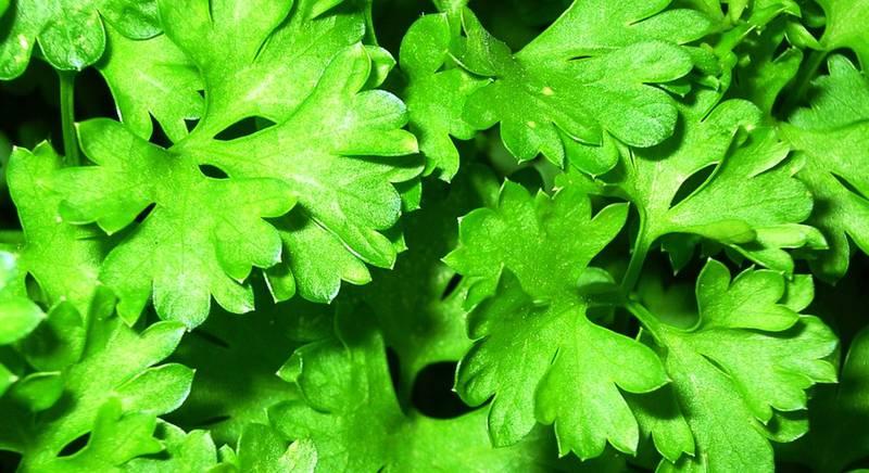 Выращивание кинзы (кориандр) дома и на участке