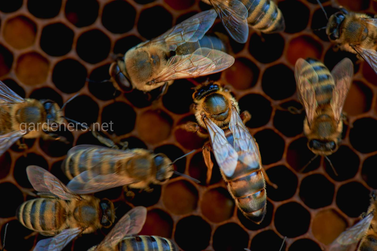 Пчелинная матка_@alena_chaicova