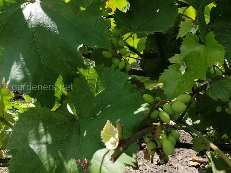 Июльский уход за виноградом: 4 вещи, о которых ни в коем случае нельзя забыть