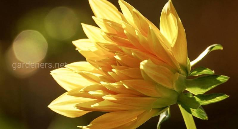 Создаем желтый цветник. Перечень желтых цветов и кустарников и их сорта