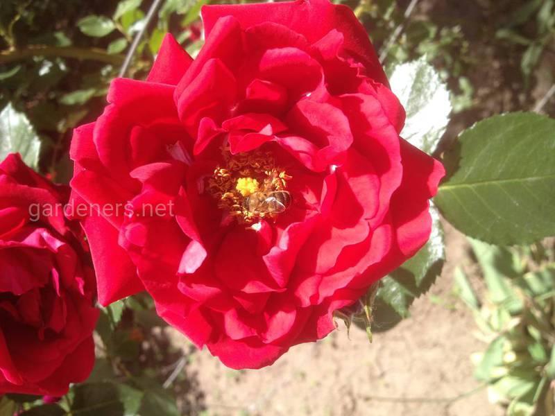 Как собрать и подготовить семена розы для посадки?
