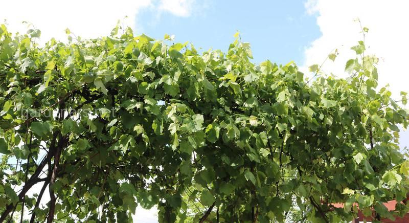 Цілющий вплив винограду на ваше здоров'я. Чому варто обов'язково додати його до свого раціону?
