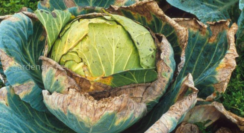 Судинний бактеріоз на капусті та її захист