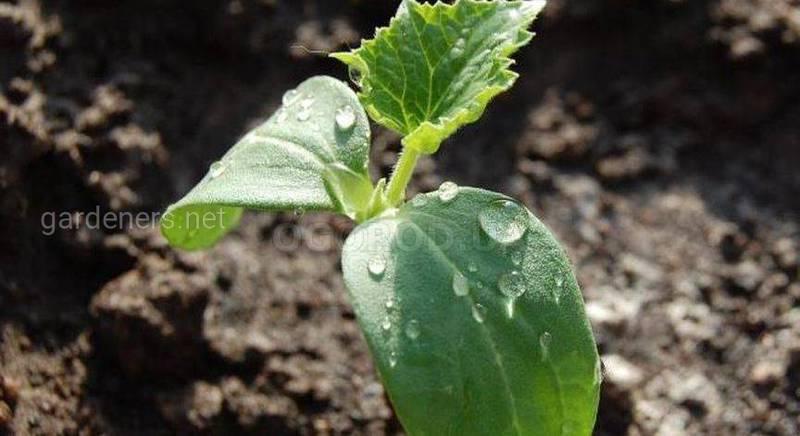 Як правильно вирощувати розсаду?