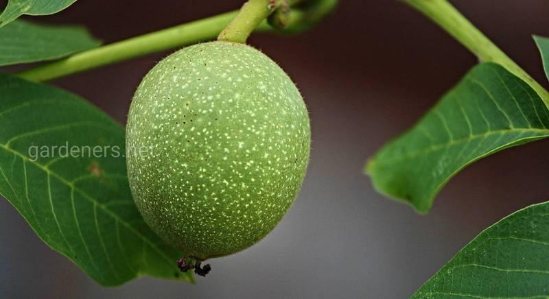 Настойки и ликёры на зелёных грецких орехах — несложные рецепты и советы по приготовлению