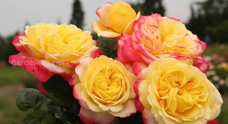 Розы Кордеса