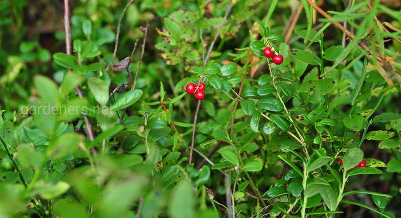 Лікувальні властивості листя брусниці: що лікують та як приймати