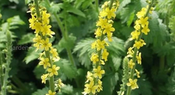 Парило звичайне - королівська трава.Як її використовувати?