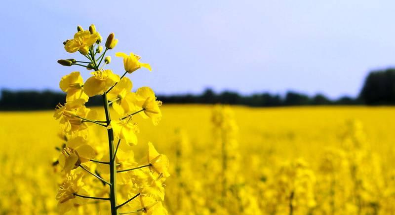 Як захистити врожай від ріпакового прихованохоботника?