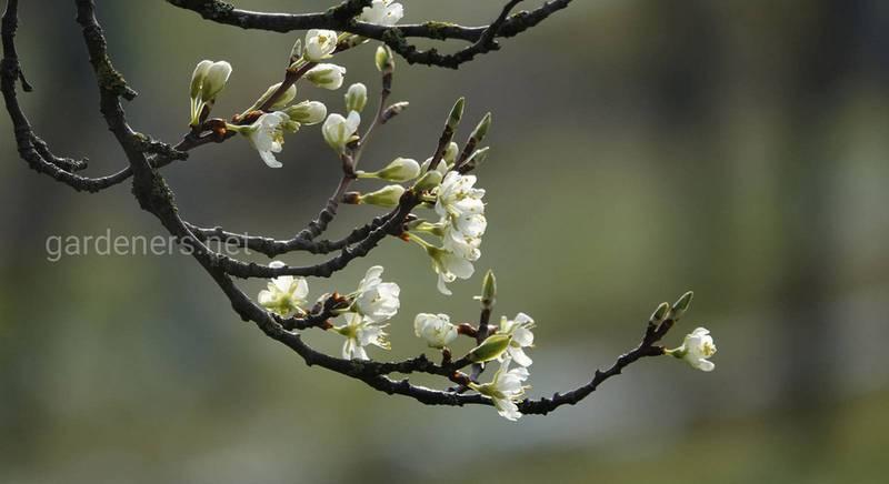 Нагадування садівникові: чим і навіщо обробляти дерева в квітні