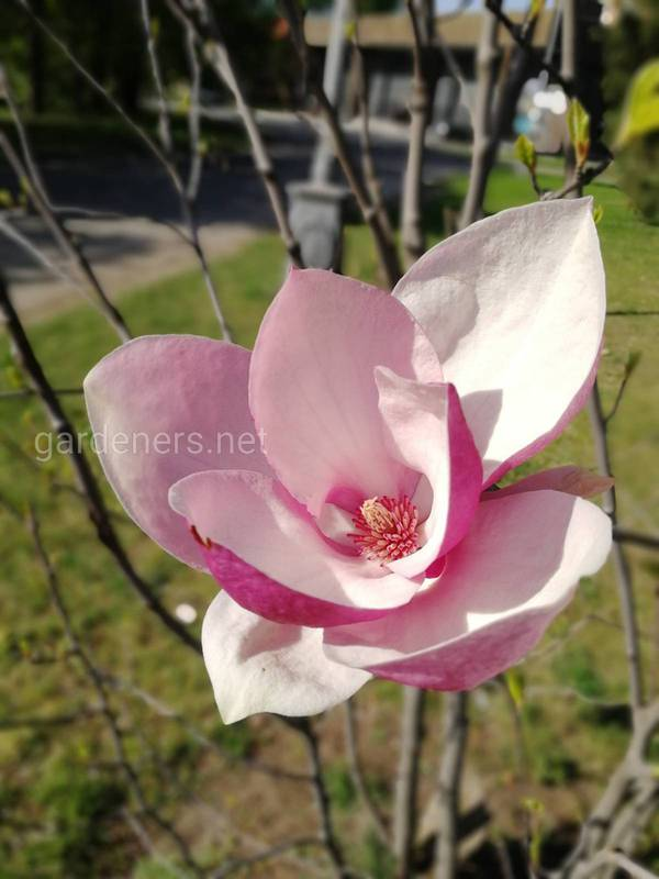 Как выбрать и посадить декоративный кустарник или дерево у вас в саду?