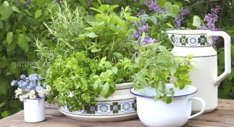 Аптекарский огород пряных растений