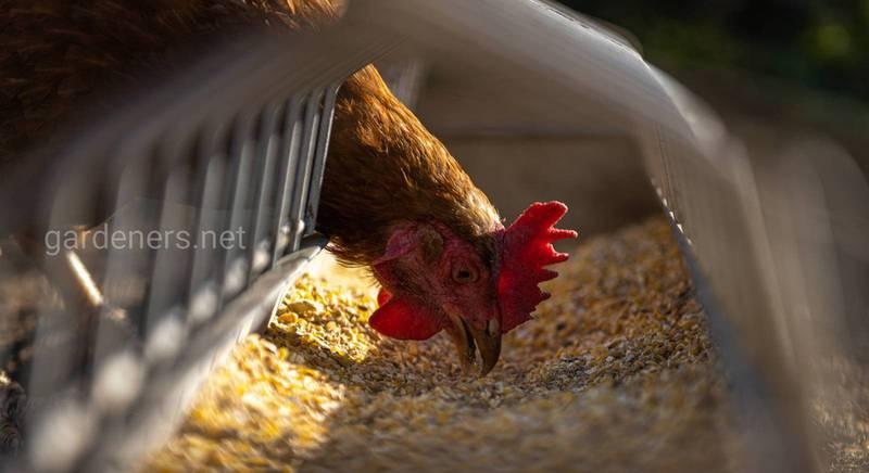 Корма для птиц: питание, позволяющие получить максимальную прибыль от птицеводства