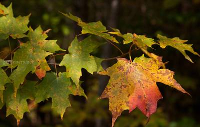 Acer_saccharum_leaves,_Green_Mountain_National_Forest.jpg