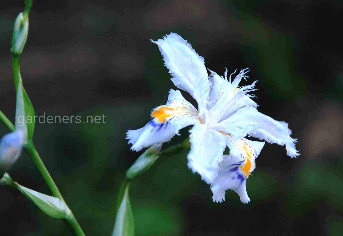 Iris japonica Variegata