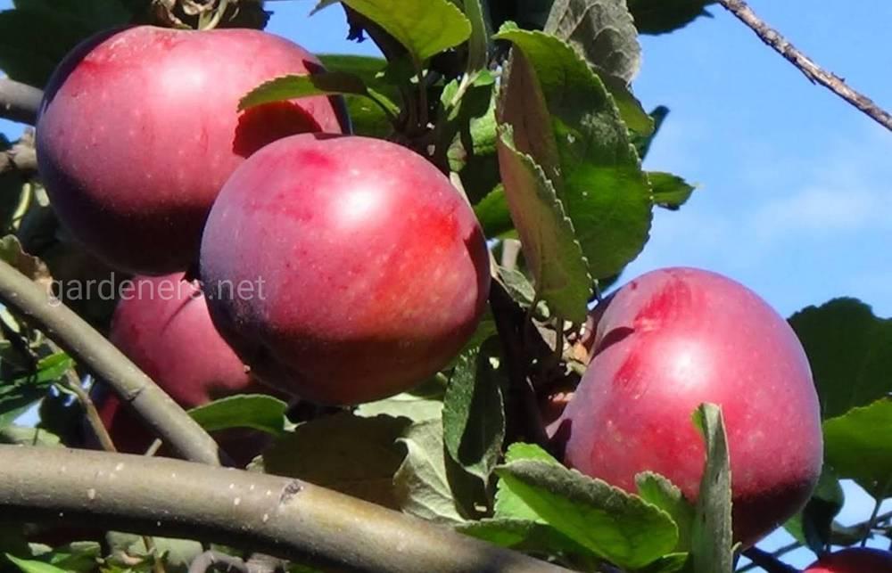 сорт яблок Серебряное копытце
